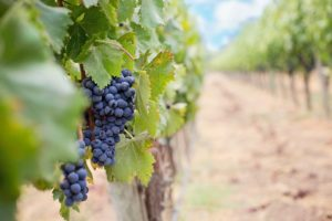 grapes-1952035_1920
